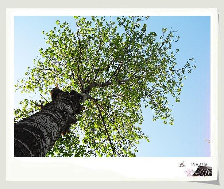 我和一位最好的姐妹常在这棵大杨树下说话,我一个人常在这片树林里听