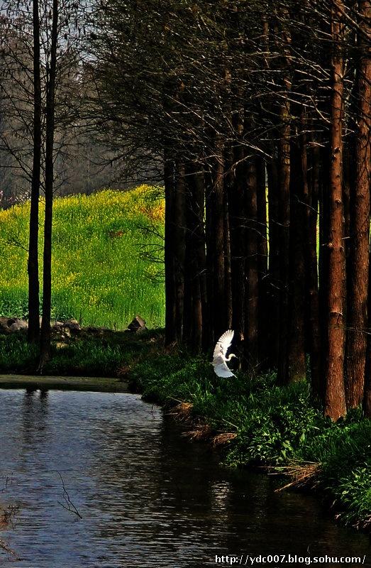 翩翩水上 我们在森林公园周围窥视一番,见到有辆大巴拉来一车客人,竟然也没有进园,在周围游荡一会儿离去了。看来不是只有我们觉得票价不合理。既然来了,我们决定在周围转转,兴化水乡春光各处都十分美丽。森林公园东面是一条小河,河畔堤坡上开满金黄的油菜花。河东就是通往县城的公路,路旁成排的碧桃正在盛开,姹紫嫣红满枝头。公路东侧是一片湖泊水面,水波荡漾。湖畔翠绿的垂柳随风飘荡。湖上有人撑着一条柳叶舟在湖上飘荡。远远望去,湖那岸是一眼望不到边金灿灿的油菜花。满目春光令人陶醉。