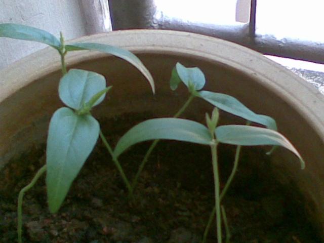 绿豆的成长记录一