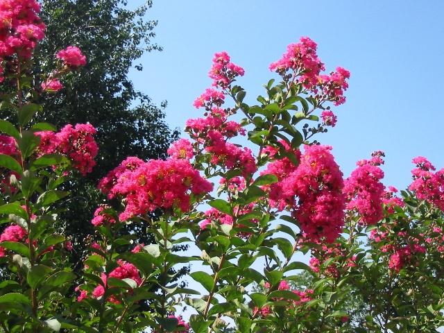 紫薇树长大后树干外皮脱落光滑无皮,又被人称为无皮树.