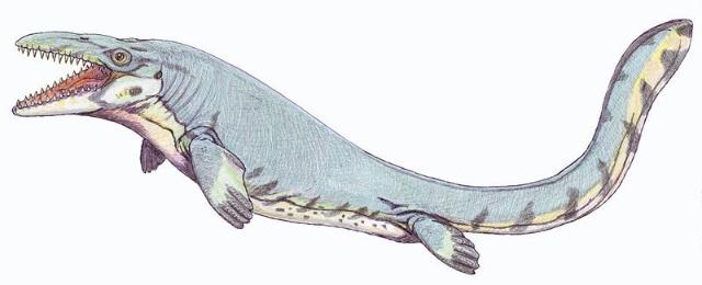 用它的球根状牙齿捕抓软体动物与海胆为食