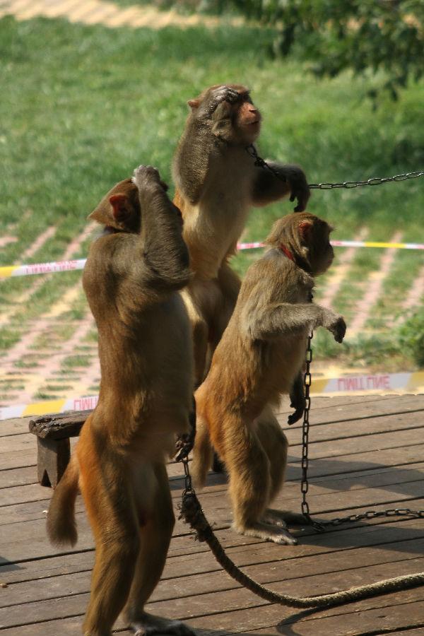 猴子属于灵长类动物,是动物界最高等的类群,可以说是和我们人类的祖先差不多的一种动物,很有灵性。猴子在没经过驯化之前,极其顽皮,有时候固执,而且,不管是好的行为,还是坏的行为,都要学一学。但是经过人类在特定的情况下驯化以后 ,他可以为人类展现美好的一面,甚至太过在驯化猴子代替人类采收椰子。我们有些人,也需要一些有品位的领导,用心的培养,才能成为可用之材。如果方法不等当,或者驯化师的心理不健康