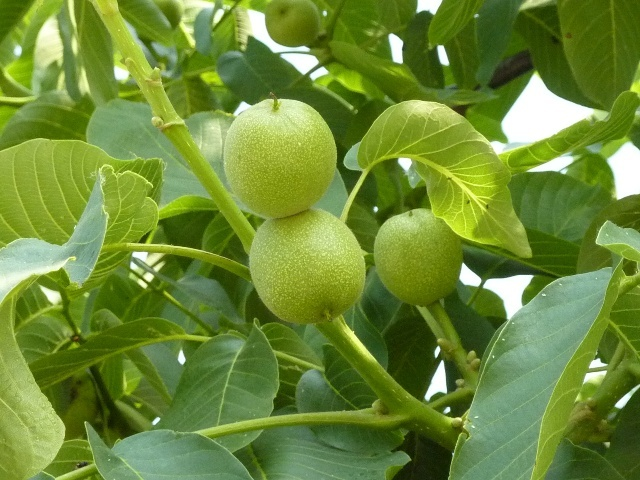 起初以为是梨树呢
